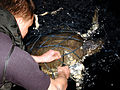 US Navy 050310-N-0011B-003 Search and rescue swimmer Yeoman Seaman Brandon Javellana, assigned to the amphibious assault ship USS Essex (LHD 2), uses a knife to free one of three large sea turtles trapped in a fisherman's net.jpg
