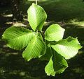 Ulmus 'Plantyn' foliage.jpg