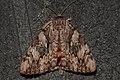 Underwing Moth (Catocala sp.) - Guelph, Ontario 2015-08-16.jpg