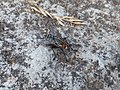 Unidentified Sarcophaga - Serraia 02.jpg