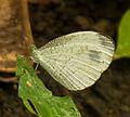 Unidentified butterfly, Sukorambi Botanical Gardens, Jember 01.jpg