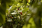 Unripe and half ripe fruits of Myrica esculenta Box myrtle tree JEG5546.jpg