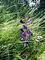 VICIA ONOBRYCHIOIDES - SANT HONORAT - IB-876 (Veça onobriquioide).jpg