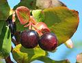 Vaccinium myrtillus - Bilberry - Maviyemiş 03.jpg