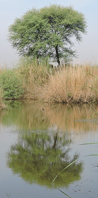 Vachellia nilotica - Image: Vachellia nilotica, at village Chaparr Chirri, Mohali, Punjab, India