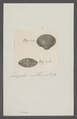 Venus spec. - - Print - Iconographia Zoologica - Special Collections University of Amsterdam - UBAINV0274 077 11 0024.tif