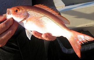 Vermilion snapper species of fish
