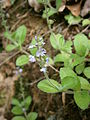 Veronica officinalis 003.JPG