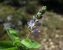 Veronica officinalis 09052002.JPG