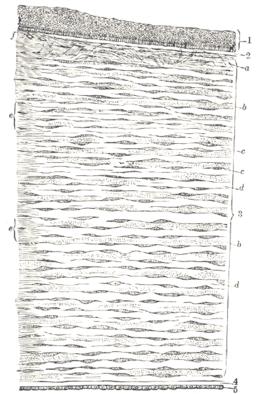 Vertical section human cornea-Gray871.png