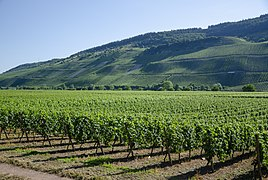 Vineyards Polich jun 2018 (1).jpg