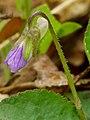 Viola hirta 05.jpg