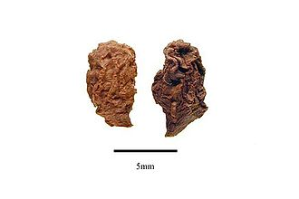 Virola - Image: Virola elongata seeds