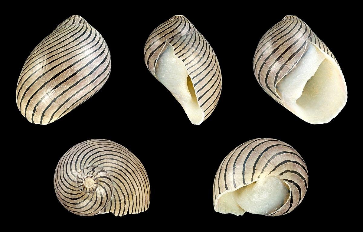 Vittina coromandeliana – Wikipedia