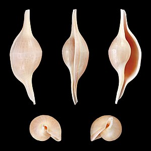 Five views of a shell of Volva habei