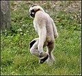 WHITE CHEEKED GIBBON (8551640880).jpg