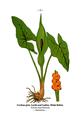 WWB-0041-015-Arum maculatum.png