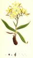Wachendorfia paniculata SmSo.png