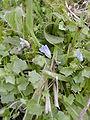 Wahlenbergia hederacea 3.JPG