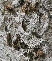 Wasps - geograph.org.uk - 506530.jpg