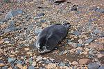 Weddell seal's pup IMG 1276.jpg