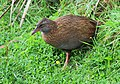 Weka wandering out of the thicket.jpg