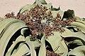 Welwitschia mirabilis S&J6.jpg