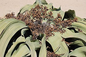 Gnetophyta - Welwitschia mirabilis bearing male cones