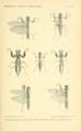 Werner 1907 Orthoptera Blattaeformia Taf III.png