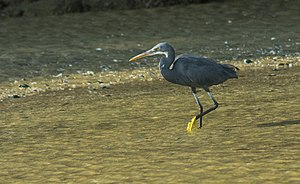 Muzhappilangad Beach - Western reef heron1