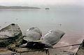 Whales, Iceland, June 1974.jpg