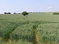 Wheat field on Gander Down - geograph.org.uk - 187998.jpg