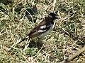 White-browed Sparrow-weaver Plocepasser mahali in Tanzania 1608 Nevit.jpg