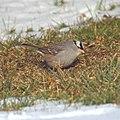 White-crowned Sparrow (5358050942).jpg