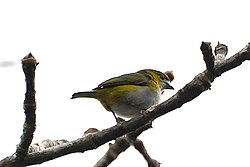White-lored Euphonia.jpg