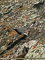 White-tailed Rubythroat (Luscinia pectoralis) (23650951964).jpg