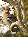 White-winged Dove (16372227038).jpg
