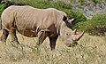 White Rhinoceros (Ceratotherium simum) (6628426241).jpg