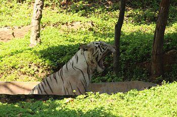 White Tiger 1 at Indira Gandhi Zoological Park, Visakhapatnam.jpg
