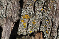 Wien-Penzing - Naturdenkmal 199 - Flechten auf der Baumhasel beim Europahaus.jpg