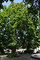 Wiener Naturdenkmal 566 - Platane (Innere Stadt) i.JPG