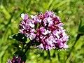 Wild Marjoram (Origanum vulgare) (7655948042).jpg