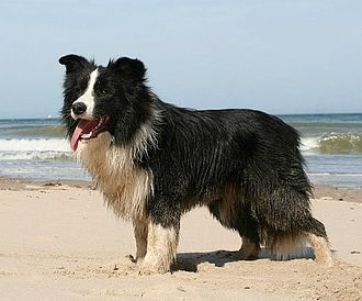 Border Collie - Male Border Collie.