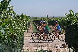 Enotourism - Cycling through vineyards in Mendoza, Argentina