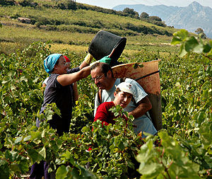 Roussillon - Grape pickers near Maury.