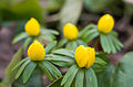 Winter Aconite Flower 4830.jpg