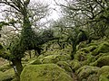 Within Wistman's Wood, Devon.jpg