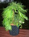 Wollemi Pine - potted.jpg