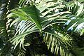 Wollemia nobilis kz5.jpg
