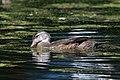 Wood duck juvenile, mill pond (35246876444).jpg